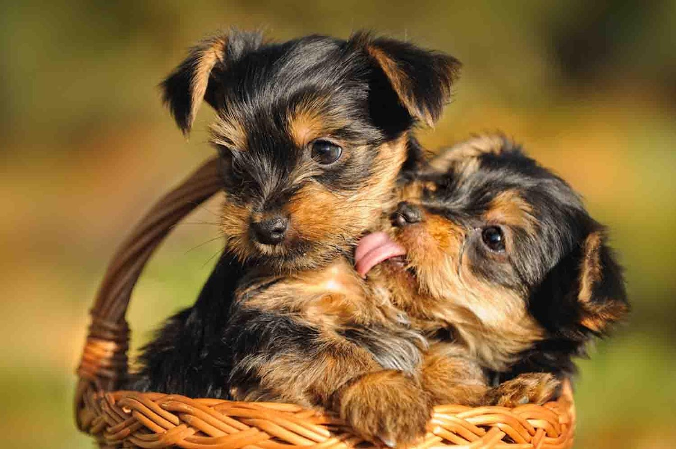 Yorkie Puppy Wallpaper - Android Apps on Google Play