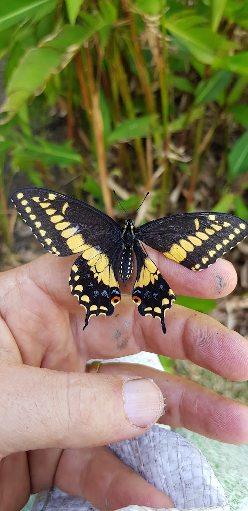 mariposa EcoGuardianesCR
