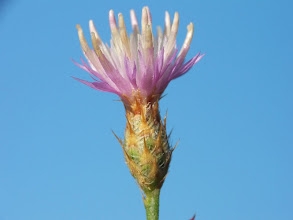 Photo: Centaurea cordubensis