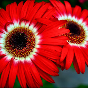 gerberas by Nic Scott - Flowers Flower Gardens ( flowers, gerbera,  )