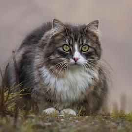 I miss you by Jane Bjerkli - Animals - Cats Portraits (  )
