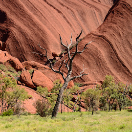 Dead tree in the Outback at Uluru by Sue Huhn - Landscapes Travel ( uluru, dead tree, ayers rock, australia, outback,  )