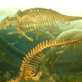 Swimming skeletons by Naseeb Ullah  Kakar - Animals Reptiles ( waters, swimming, ocean, fish, dinosaur, amphibian )