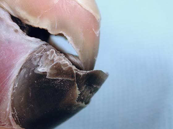 Close-up view of beak flaking