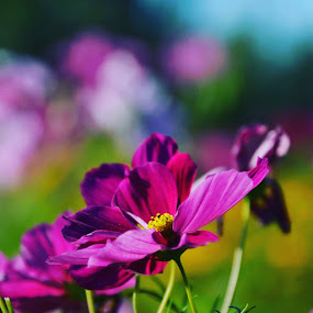 Kissed by the sun by Els He - Flowers Flowers in the Wild ( pink, purple flower, purple, pink flower, summer, colorful, flower,  )