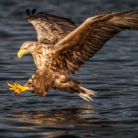 Sea eagle by Dennis Hallberg - Animals Birds ( white-tailed eagle, seaeagle, eagle,  )