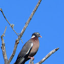Common Wood Pigeon; Paloma Torcaz