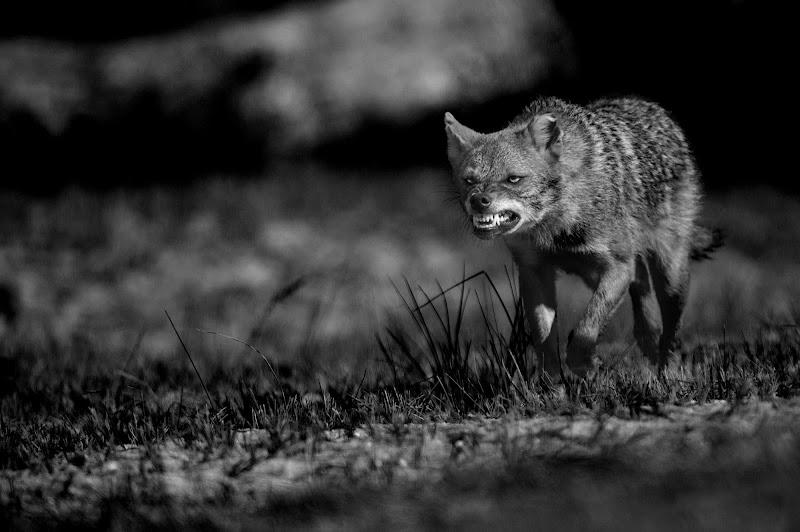 chi ha paura del lupo? di Rickytre