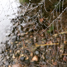 Morning Dew by Becca Wint - Nature Up Close Webs