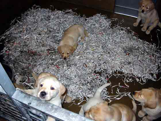 Shredded newspapers used as bedding in whelping stall.