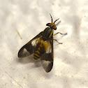 Golden eyed fly