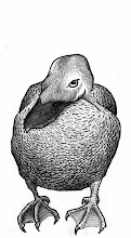 Photo: Eider duck (pen & ink sketch)