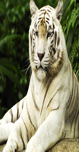Tiger WallPapers - For WhatsUp