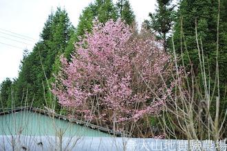 Photo: 拍攝地點: 梅峰-花卉包裝場 拍攝植物: 櫻花 拍攝日期:2012_03_07_Yah