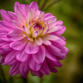 Princess by Marco Bertamé - Flowers Single Flower ( close up, blooming, pink, waterdrops, bloom, dahlia, petals, summer )