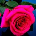 Rose Wallpapers APK