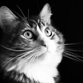 by Ekaterina Kaznacheeva - Animals - Cats Portraits ( cats )