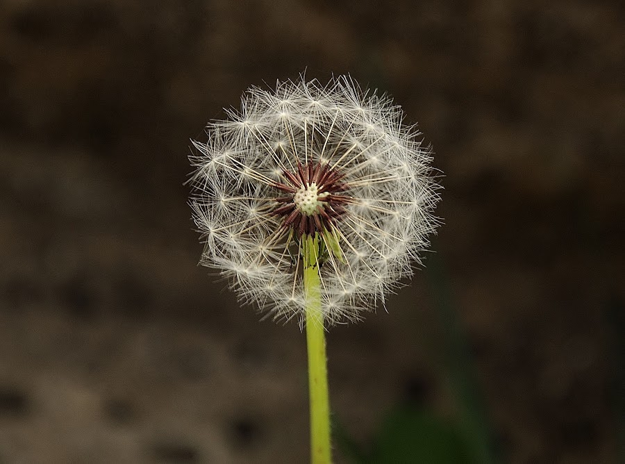 Dandelion by Nirmal Kumar - Nature Up Close Other plants