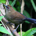 Papa-taoca-do-sul (White-shouldered Fire-eye) - Female