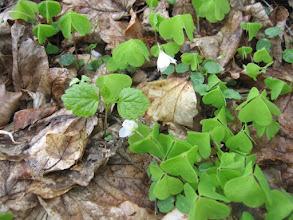Photo: Szczawik zajęczy (Oxalis acetosella L.) – gatunek rośliny z rodziny szczawikowatych (Oxalidaceae)