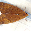 Greater Mallow Moth
