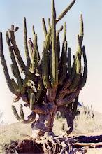 Photo: #025-Cactus dans le désert du Sonora