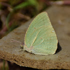Mottled emigrant