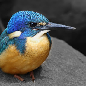 Half-collared Kingfisher by David Knox-Whitehead - Animals Birds ( kingfishers, blue, perched, black and white, birds )