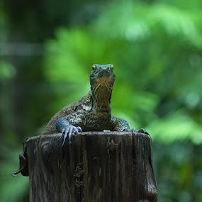 Komodo by Khomzin Arief - Animals Reptiles ( reptil, animal )