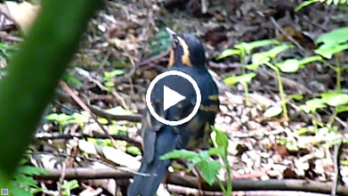Video: Varied Thrush call is a single note at various pitches.