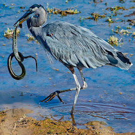 Snatch and Run by Sparty Rodgers - Animals Birds ( great blue heron, garter snake, snake, nisqually wildlife refuge, birds, heron )