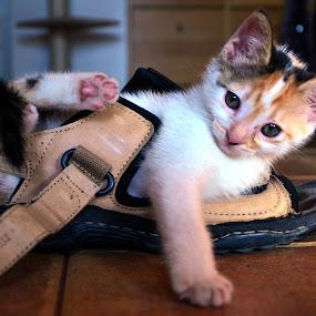 sophie by Dorian Radu - Animals - Cats Kittens ( pwcbabyanimals-dq, #GARYFONGPETS, #SHOWUSYOURPETS )