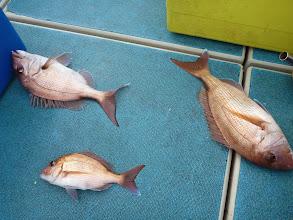 Photo: おおーっ! 真鯛のトリプルキャッチ!