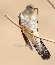 Photo: Cuckoo