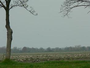 Photo: En baie de Somme, les prés salés