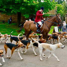 by Victoria Eversole - Sports & Fitness Other Sports ( travel photography, everdon, english traditions, dogs, fox hunting, horses )