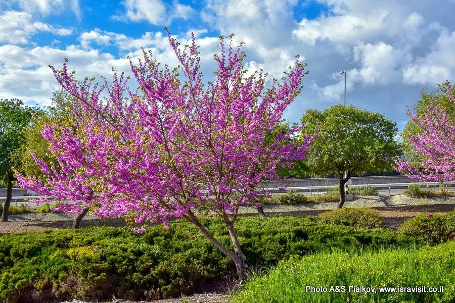 Весенние экскурсии в Израиле. Цветет Багрянник европейский, или Церцис европейский, или Иудино дерево.