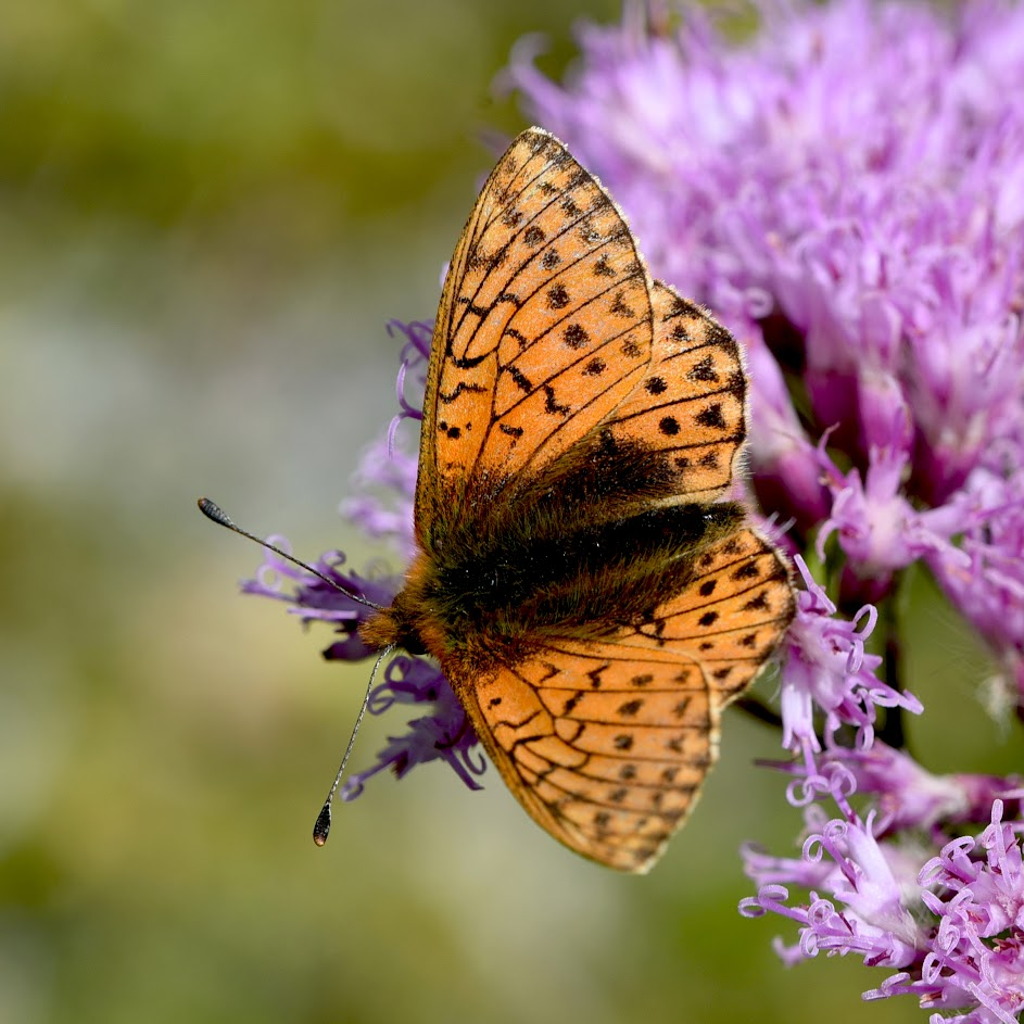 Duinparelmoervlinder - Fabriciana niobe