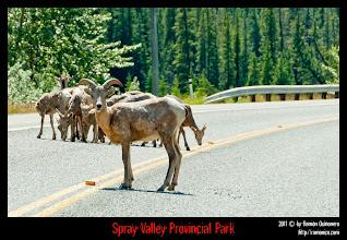 Photo: Spray Valley Provincial Park: justo en la entrada del parque nos encontramos estas cabras.