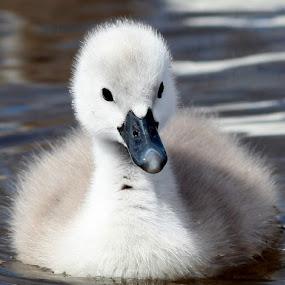 Looking at you by Yvette O Beirne - Animals Birds ( bird, cygnet, pwcbabyanimals, fluffy, swan, cute )