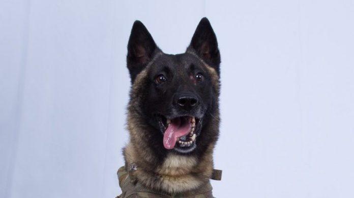Conan, the Belgian Malinois, who chased ISIS leader Abū Bakr al-Baghdadi.