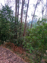 Photo: There is the stunted forest, the green below the eucalypti
