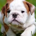 Bulldog HD Wallpapers Featured Pets Topics