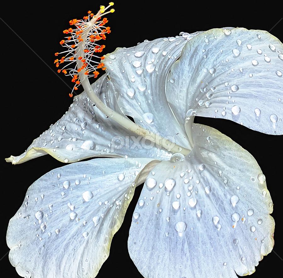white hibiscus by Hafiz Ursa - Nature Up Close Gardens & Produce ( black background, hibiscus, nikon d3100, 50.0 mm, d3100, fresh flower, fresh hibiscus flower, white hibiscus whit water drops, nikon, solid background, white hibiscus )