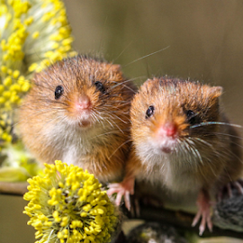 Mice by Garry Chisholm - Animals Other Mammals ( nature, mammal, rodent, mice, garry chisholm )