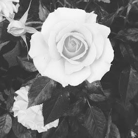 by Darla Grumbles - Black & White Flowers & Plants (  )