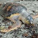 Loggerhead sea turtle (θαλάσσια χελώνα καρέττα-καρέττα)