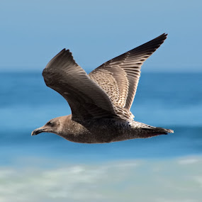 by Aaron Ytterberg - Animals Birds (  )