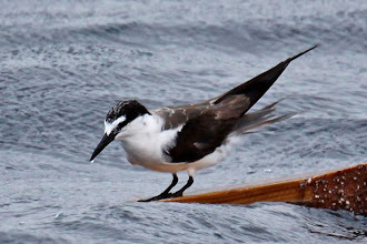 Photo: Bridled Tern