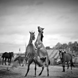 Playmates by Harry Sulistio - Black & White Animals ( playing, playmates, life, horses, black and white, lovely, couple, animal )